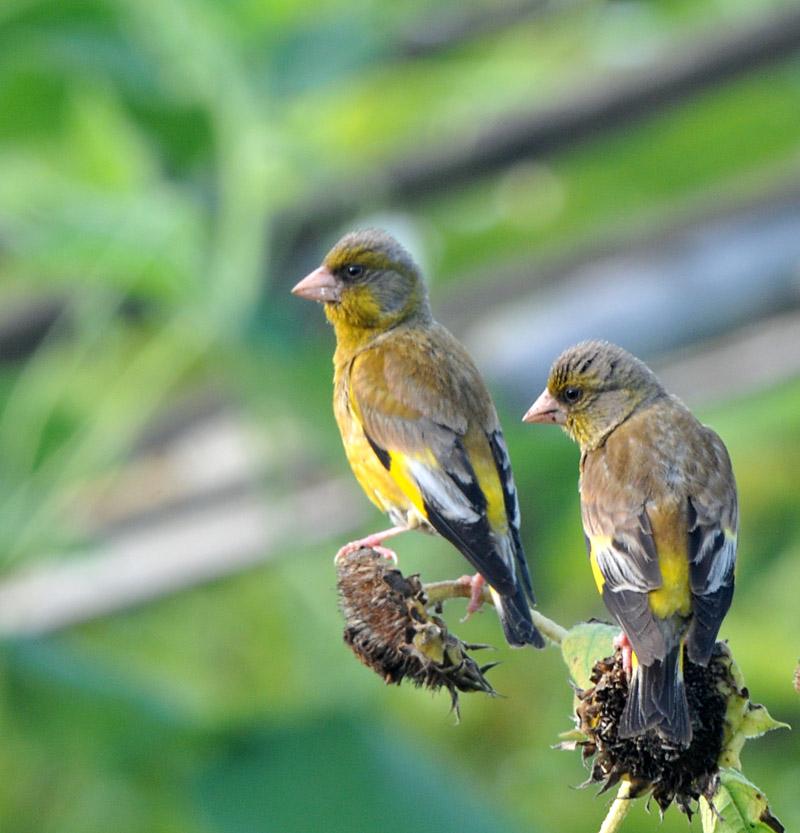(金翅雀 )金丝雀