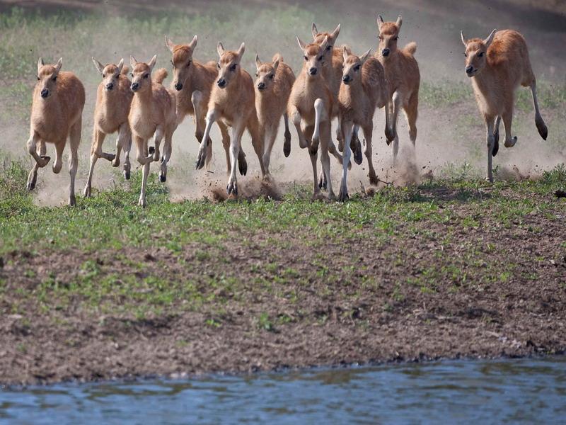 奔跑的小鹿 - 野生动物版