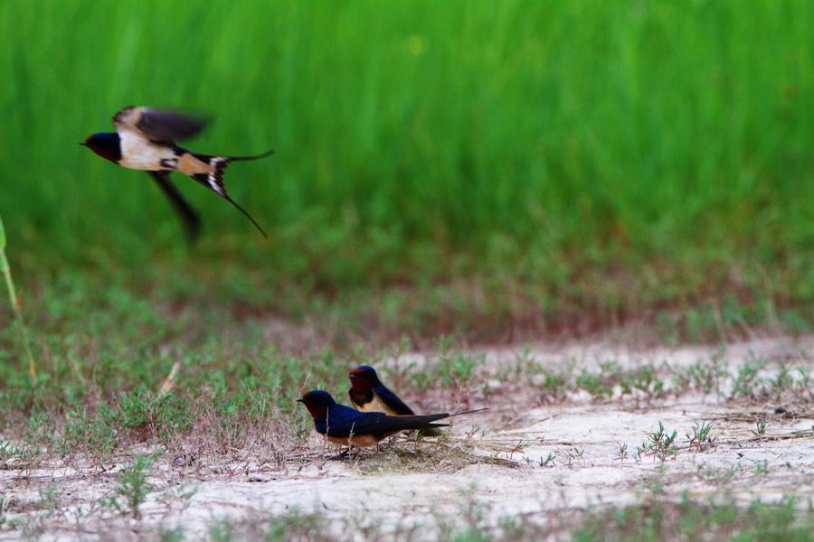燕子春天的燕子简笔画大图-春天的燕子