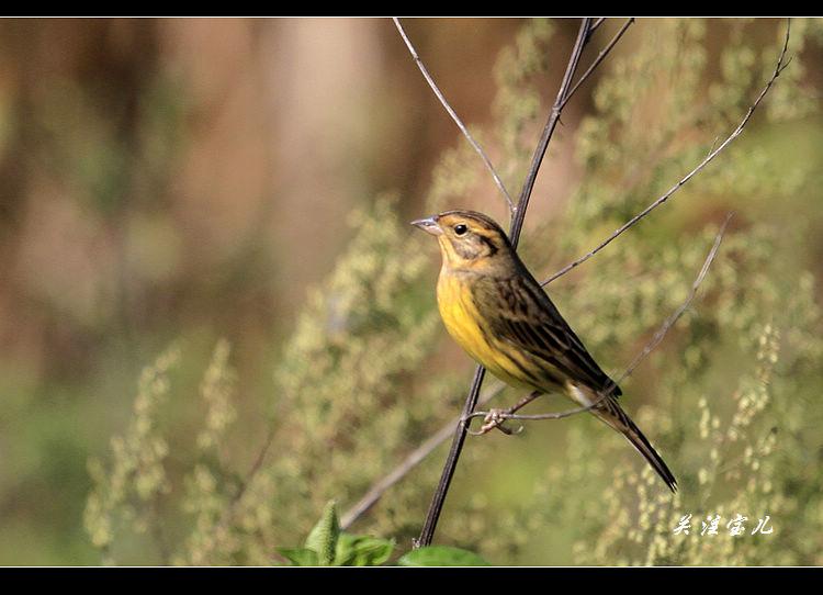黄胸�c - 林鸟版 Forest Birds 鸟网