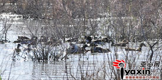 新疆捕杀候鸟猖獗 每天千只野鸭空运至内地