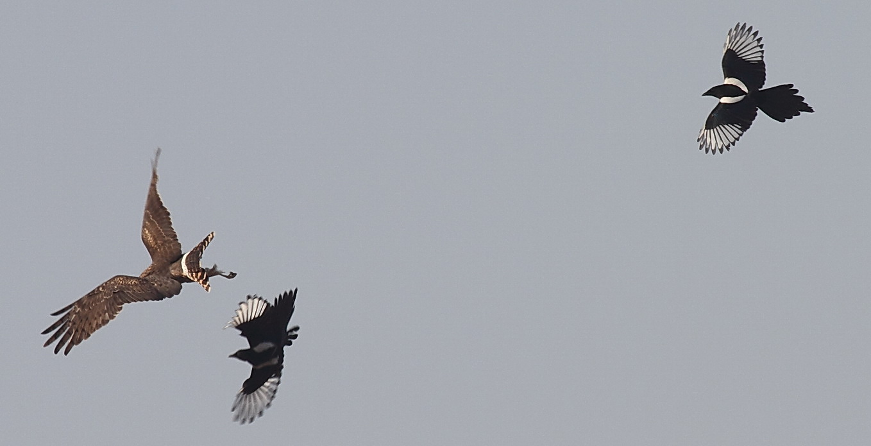 太阳岛的鸟--喜鹊斗鹰