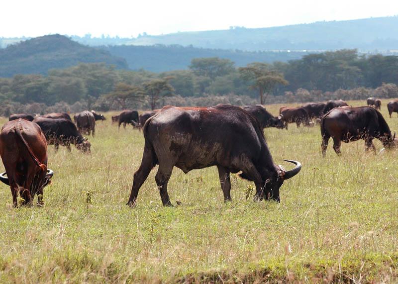 食草动物 - 哺乳动物 mammals
