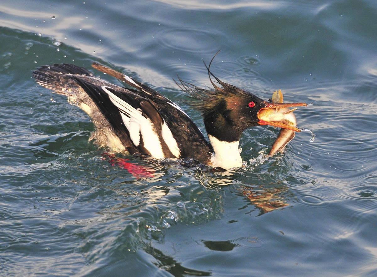 大连拍鸟感谢片---秋沙鸭吃鱼同甘共苦菜品图片