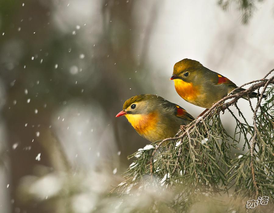 雪中红嘴相思鸟领导漫画的无能图片