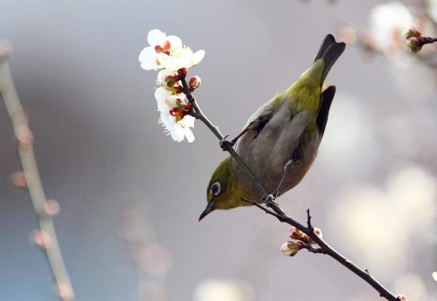 梅花秀眼鸟