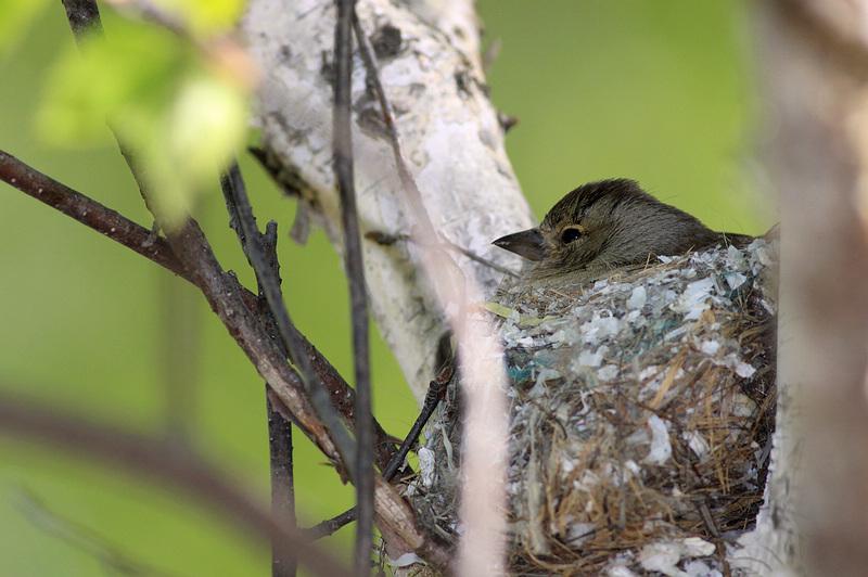 北疆鸟类繁殖观察--我的自然笔记