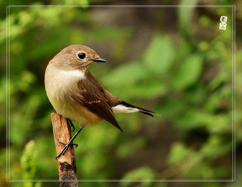 红喉姬鹟 跟上迁徙季的鸟儿