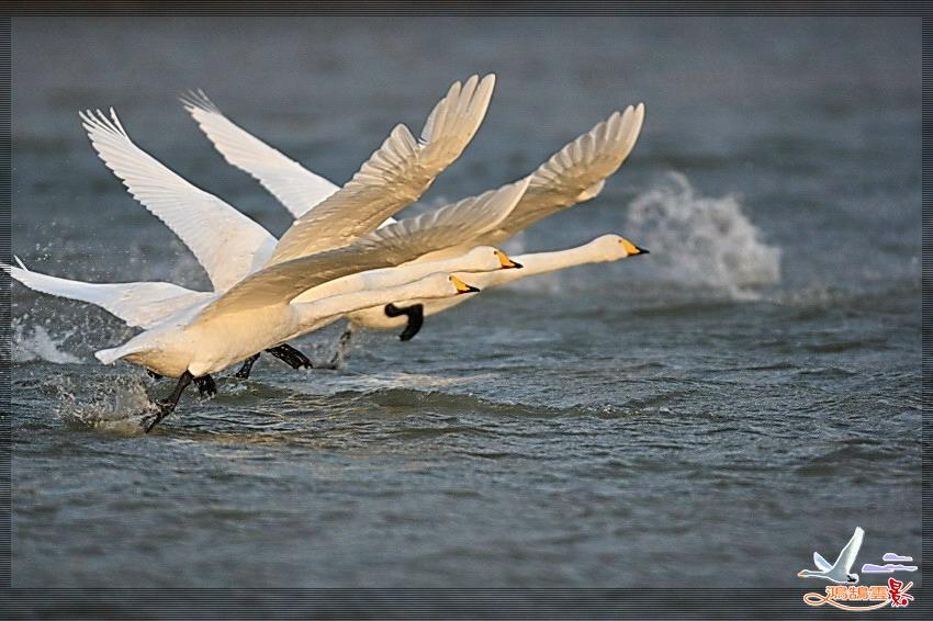 黄河湿地飞翔的天鹅