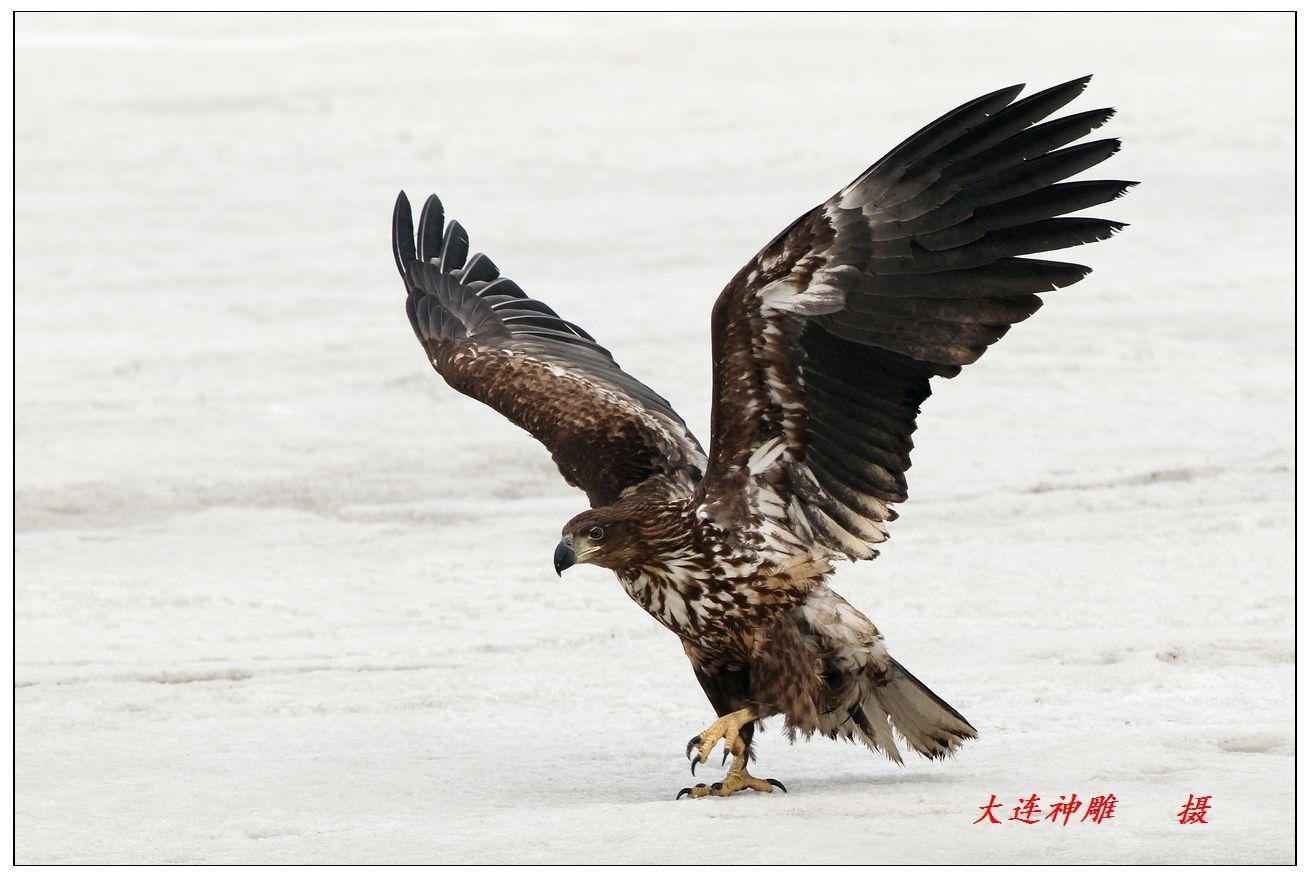 海雕走模特步 - 辽宁版