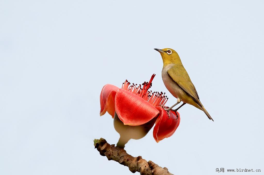 海南—木棉花上的绣眼鸟
