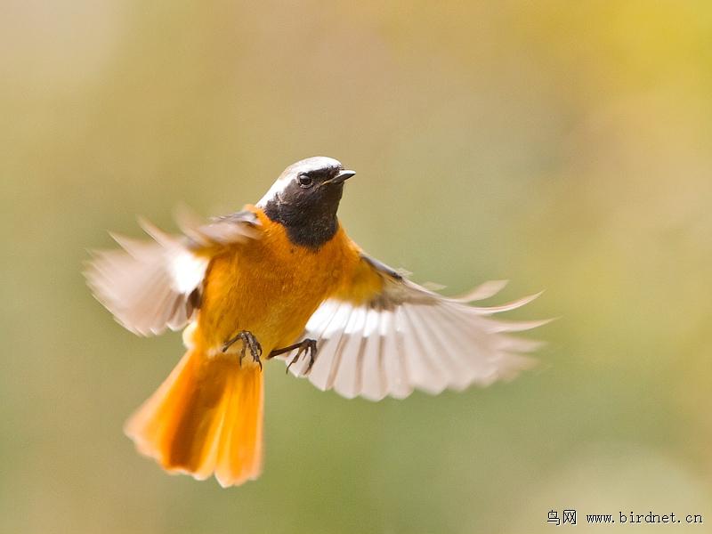 祝贺鸟语者老师荣升上海版新版主 上海版 shanghai 鸟网 高清图片