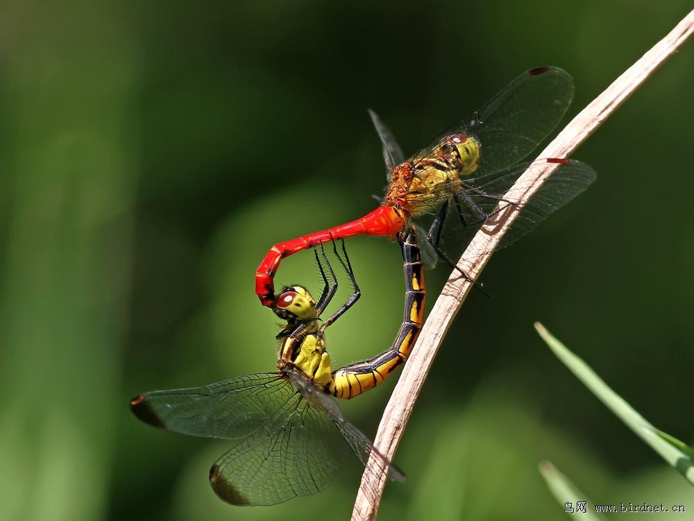 永结同心-蜻蜓交尾