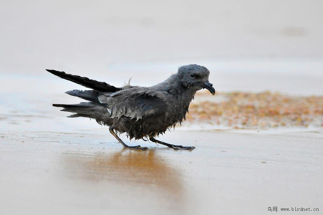 暴风雨中的海燕图片