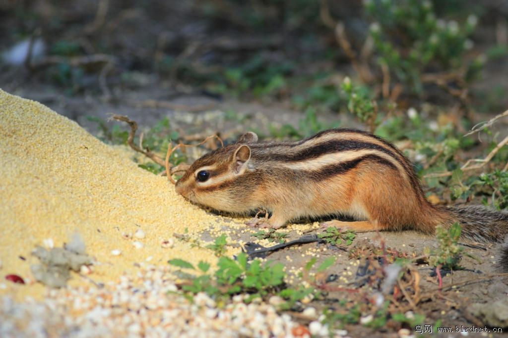 粮食堆旁的花鼠 - 野生动物