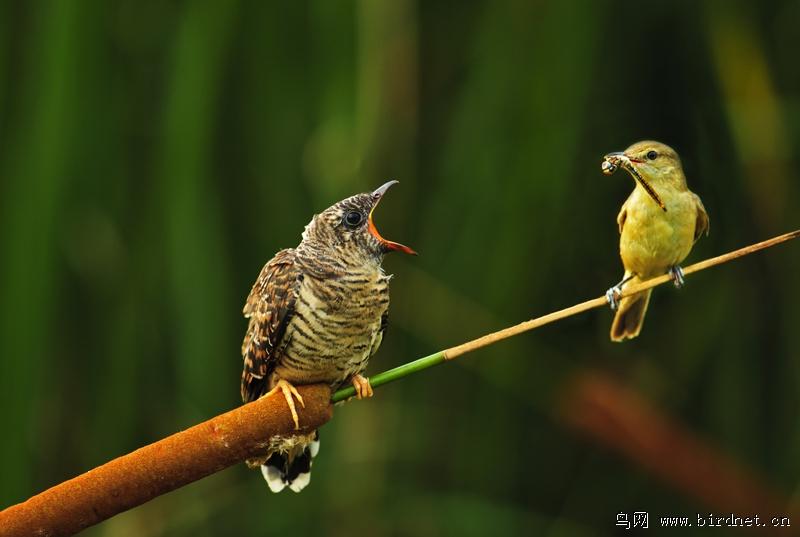 唧唧咕咕世世缘 - 林鸟版 Forest Birds 鸟网