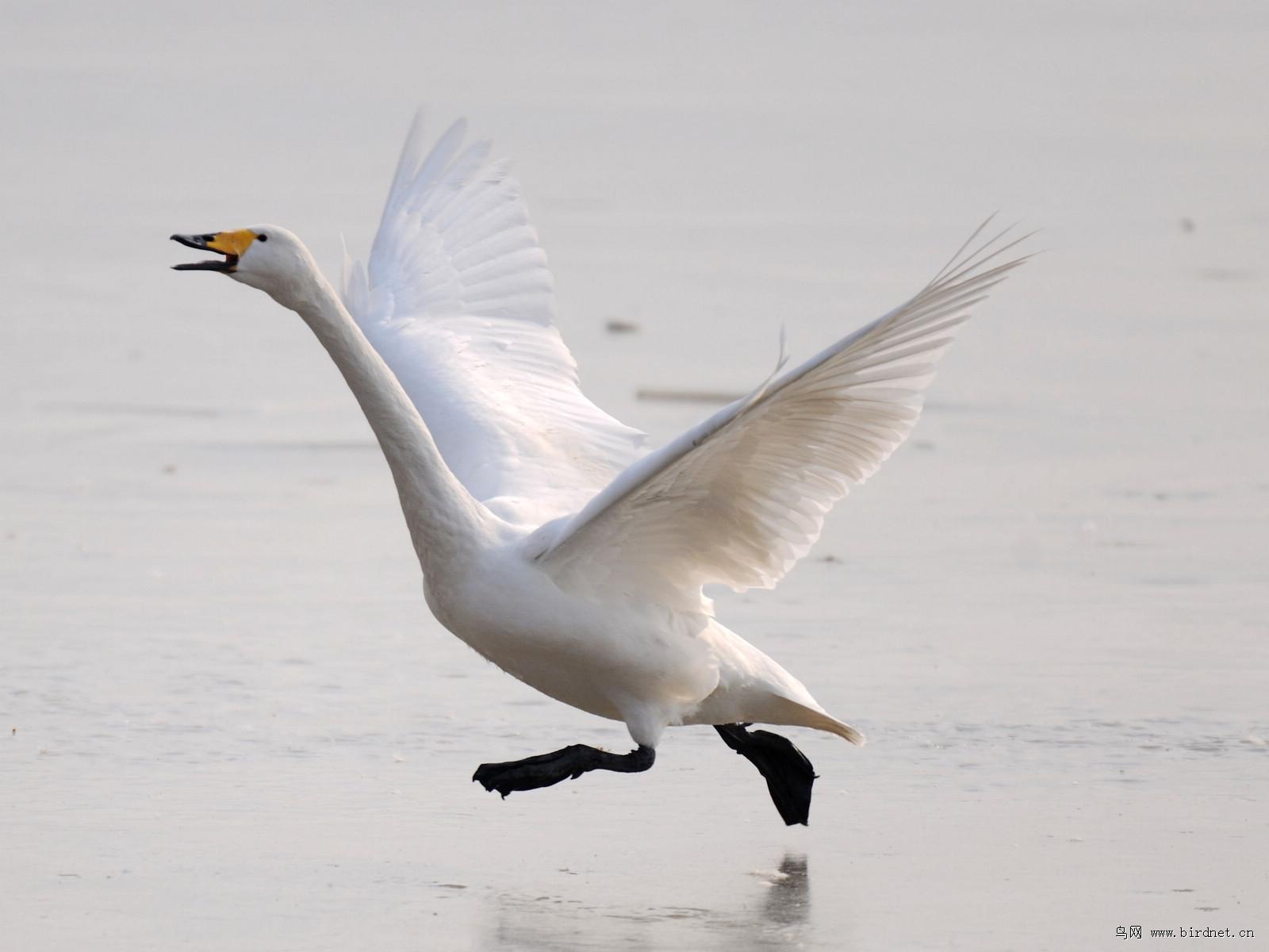天鹅----起飞
