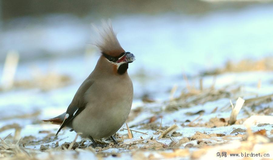 太平鸟的新发型 - 林鸟版