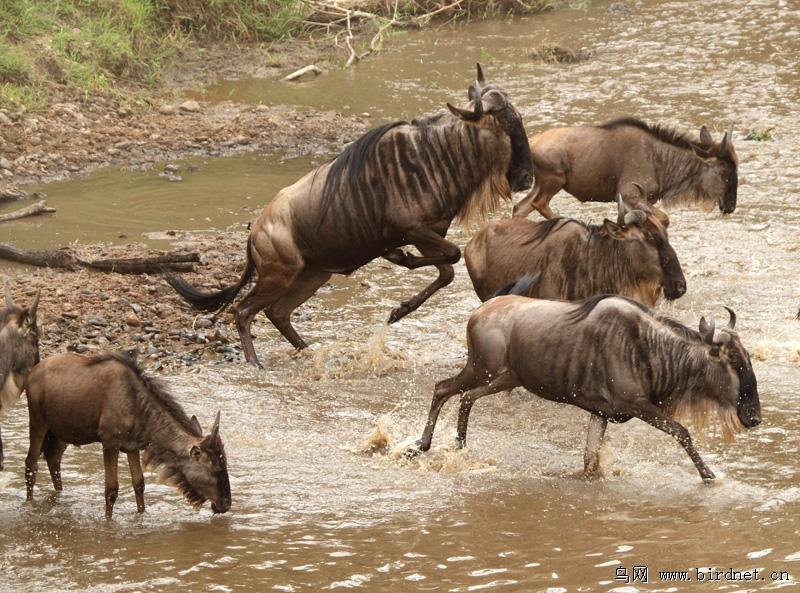 迁徙中的角马 - 野生动物