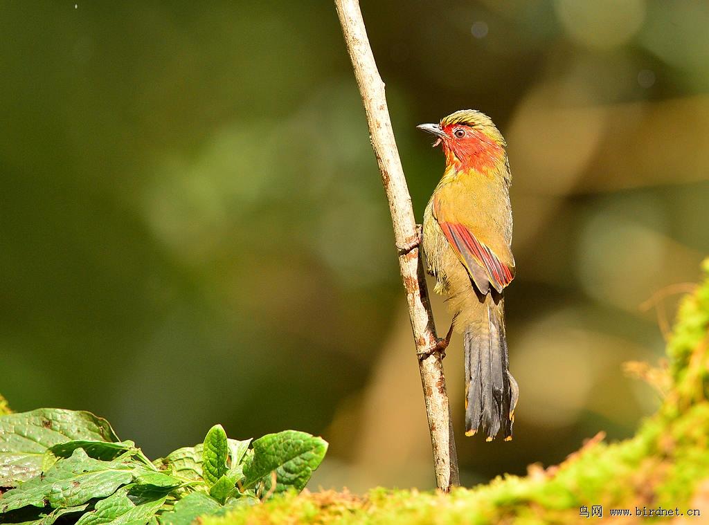 红翅薮鹛 - 辽宁版 liaoning