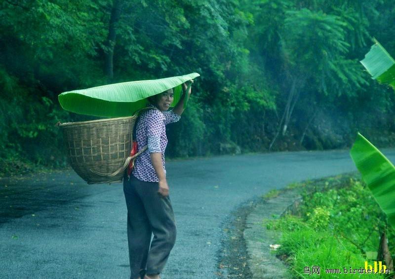 张媃雨裸体艺术_一张芭蕉叶就可挡雨绝非传说