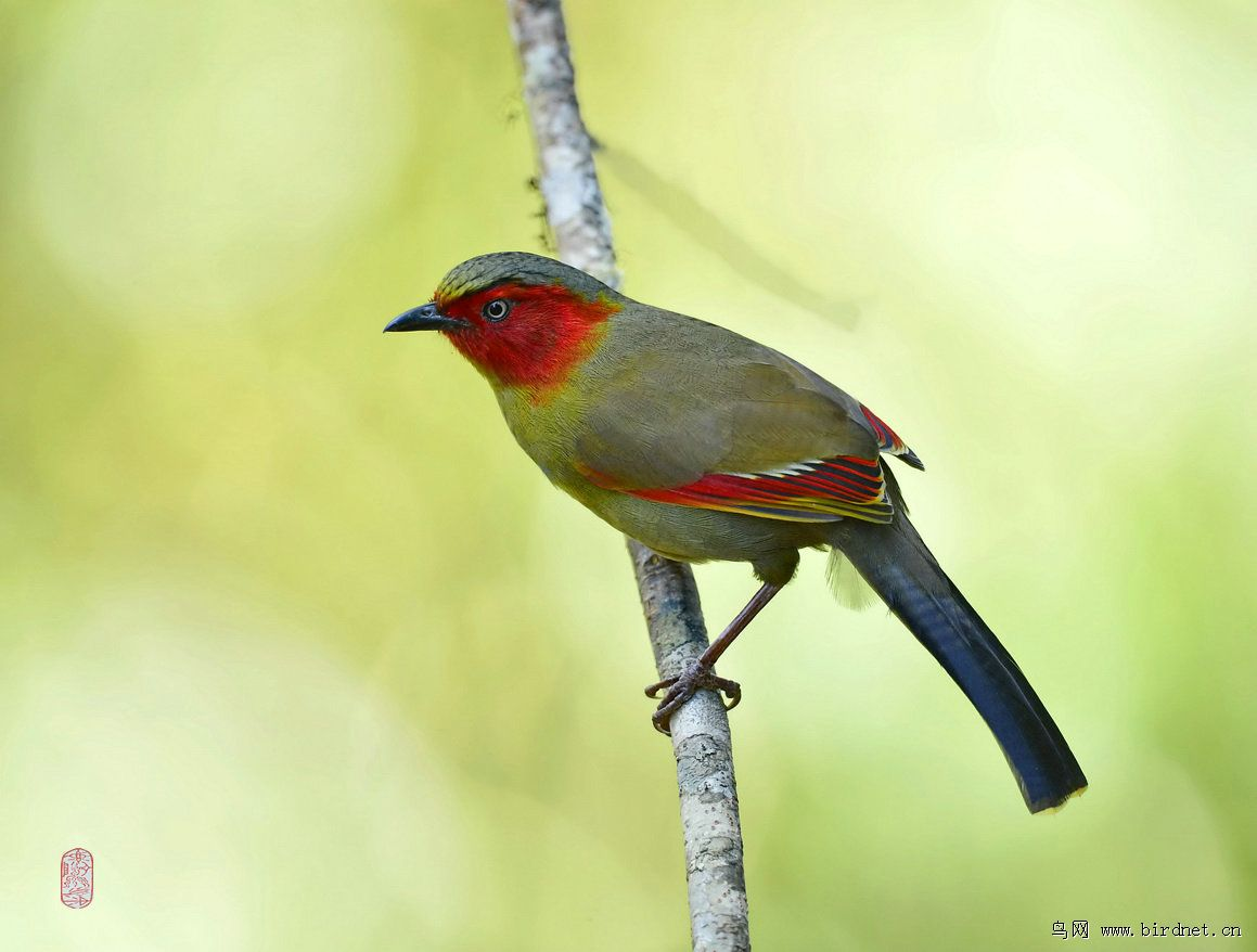 红翅薮鹛 - 北京版 beijing