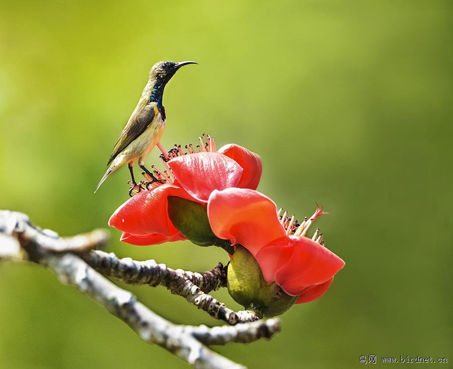红木棉花上精神抖擞的花蜜鸟(公)