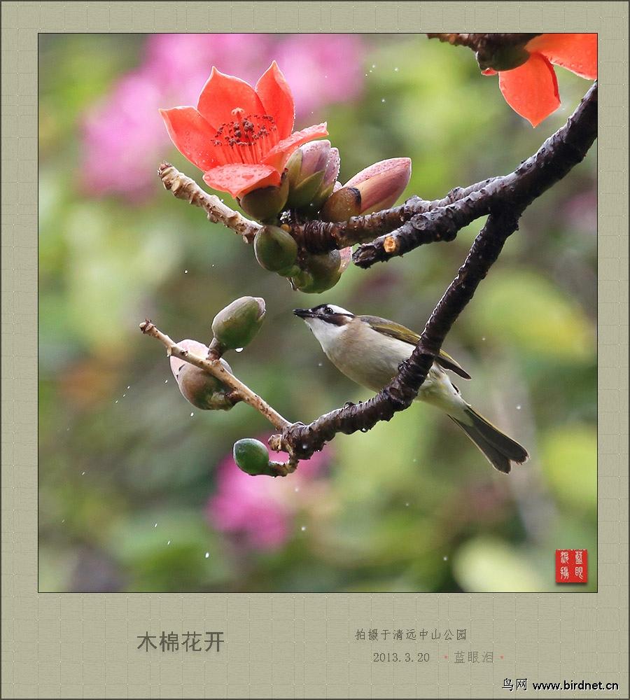 雨后木棉花树上 - 广东版