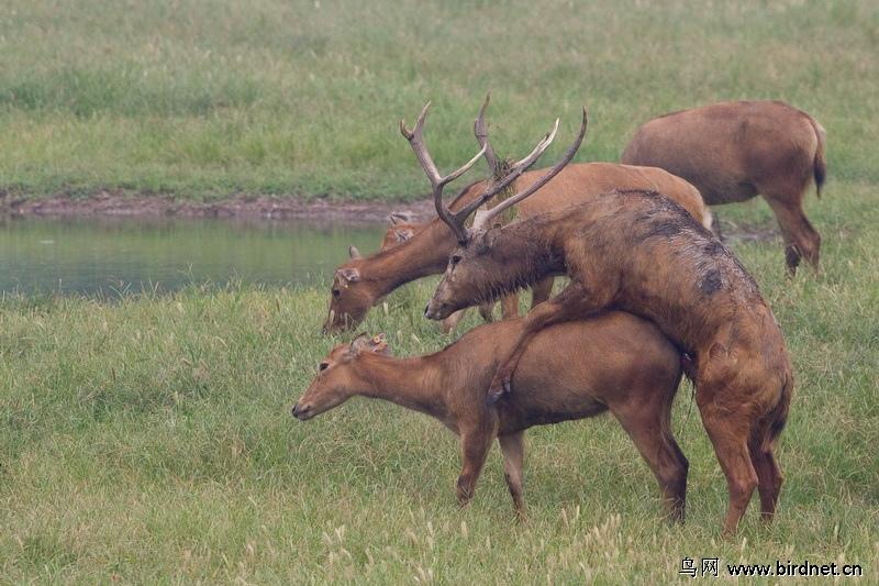 麋鹿的故事 - 野生动物版