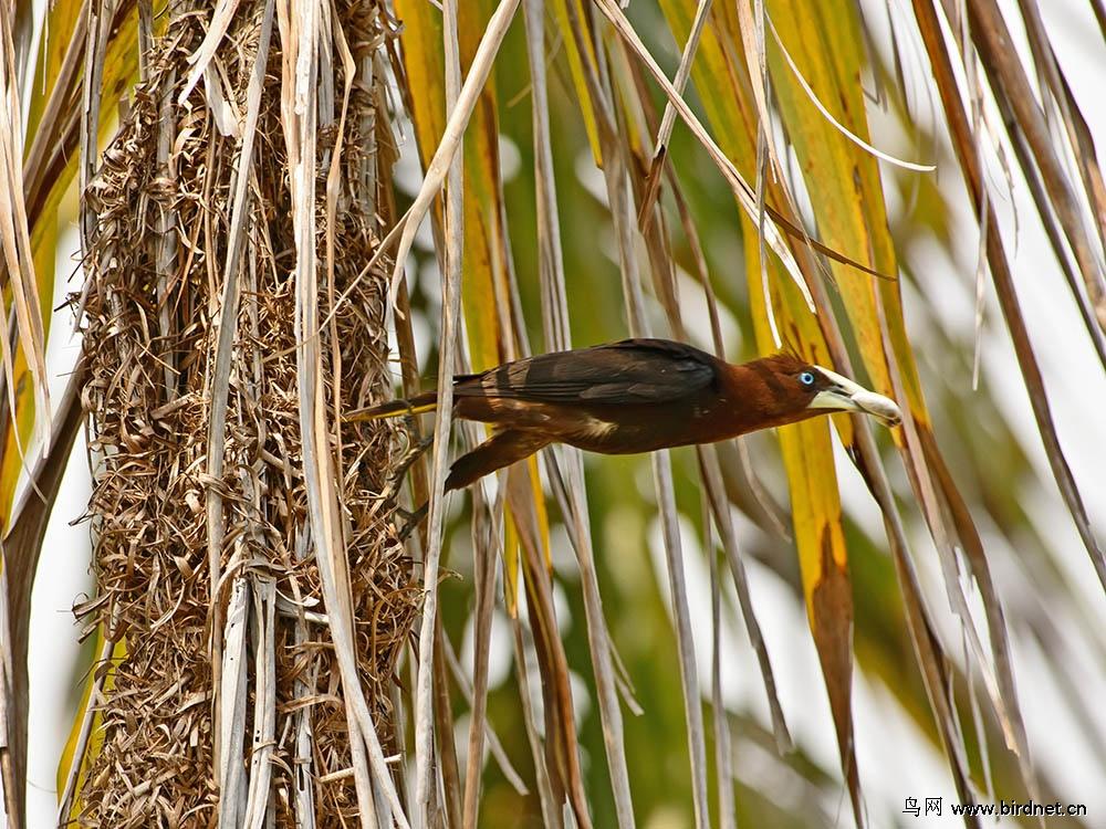 住在挂在树上的睡袋里的鸟:栗头拟掠鸟