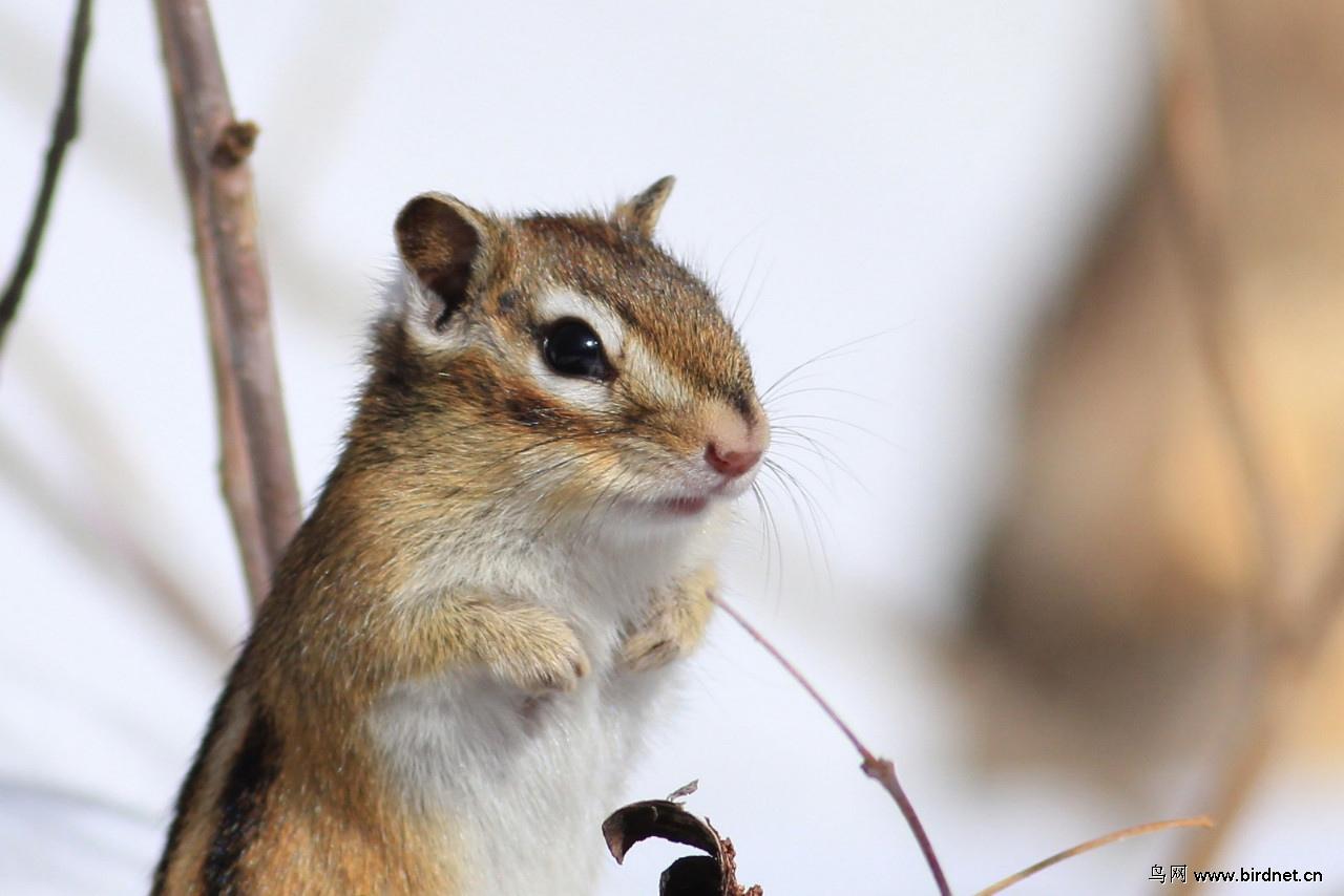 冬眠 醒来的花鼠 野生 动物 Wild Animals