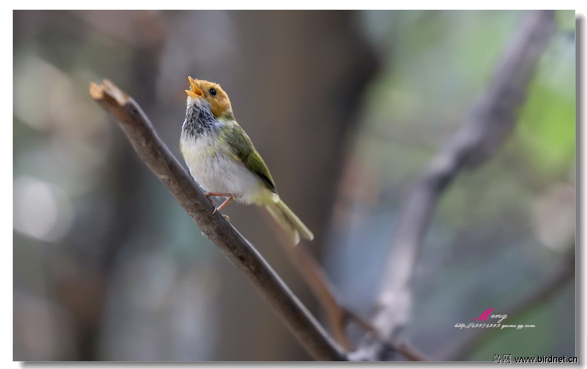 春天的鸟儿会唱歌……棕脸鹟莺