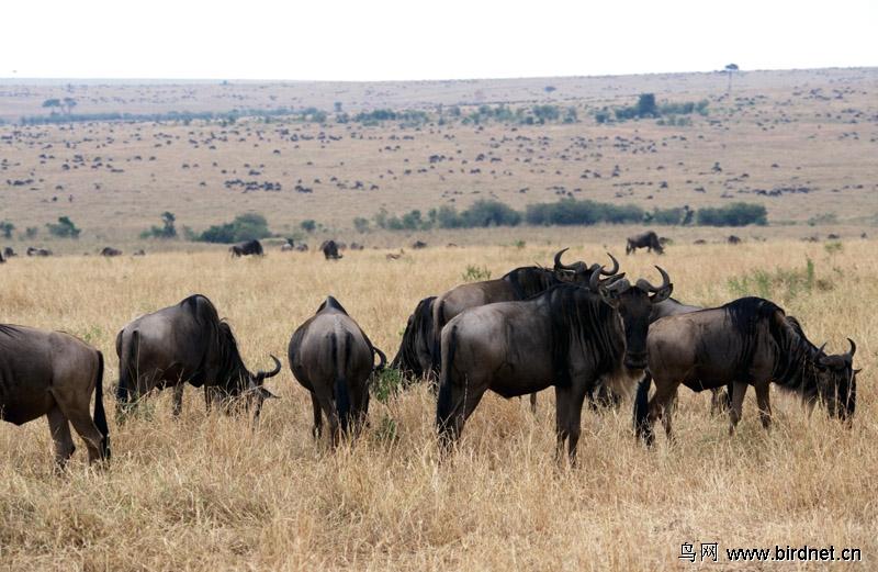非洲食草动物大迁徙