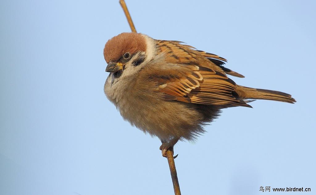 麻雀 二级保护动物