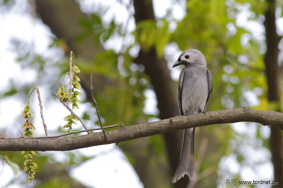 灰卷尾普通亚种