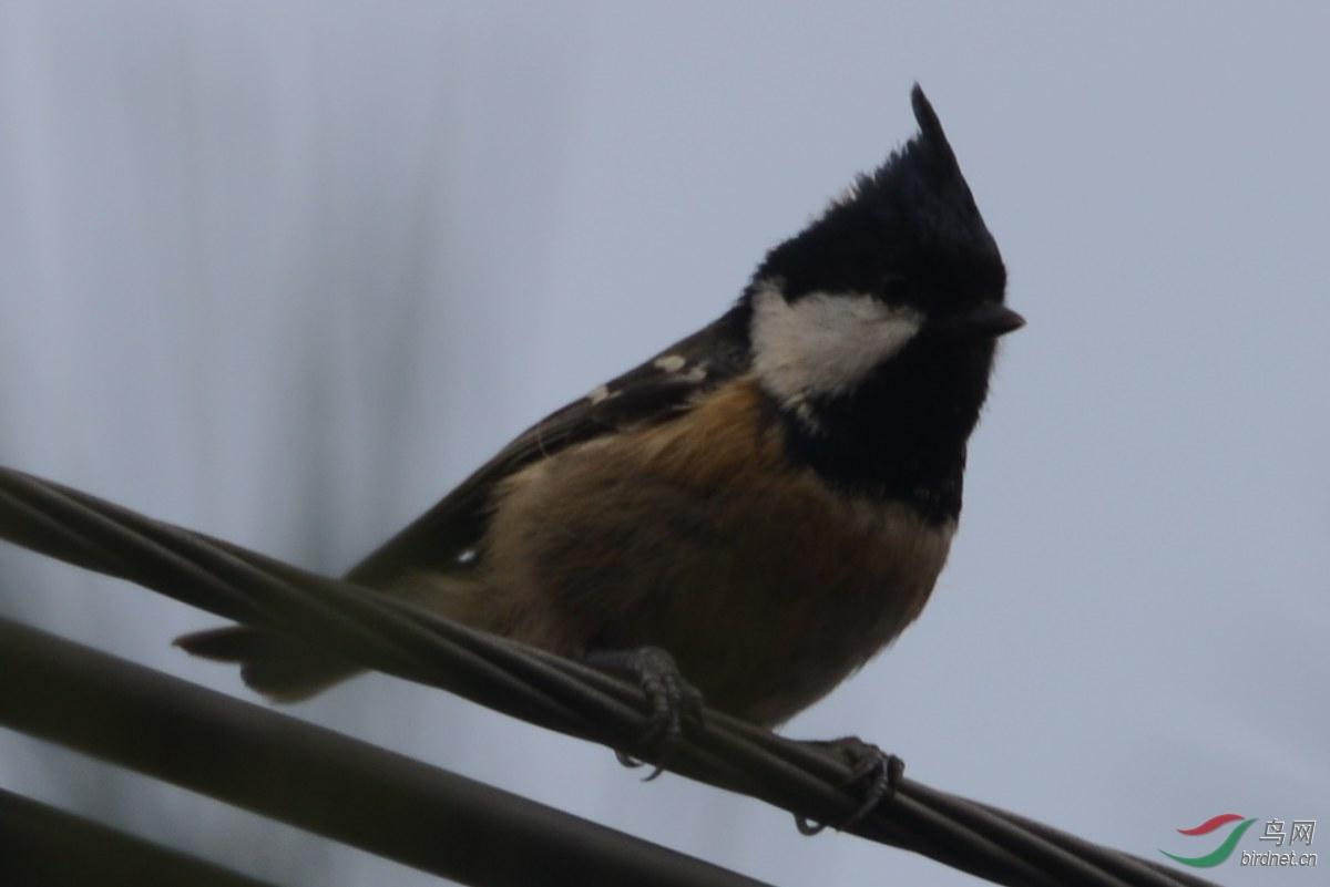 发几张煤山雀和大山雀的图片面包虫吃苍蝇吗图片