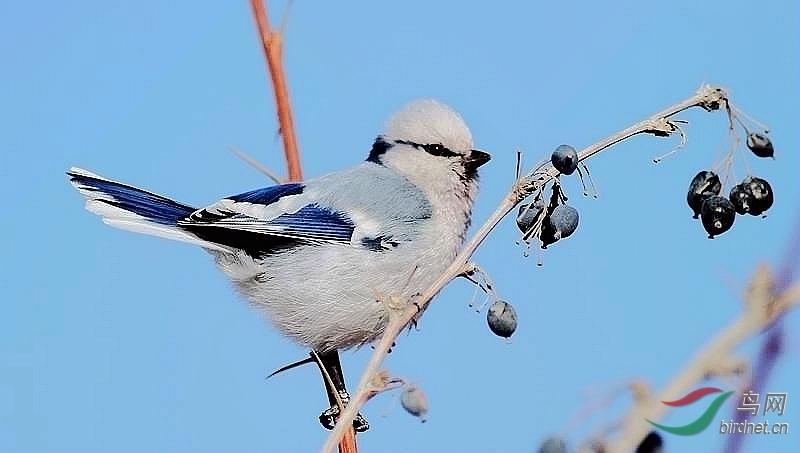 灰蓝山雀 - 新疆版 xinjiang