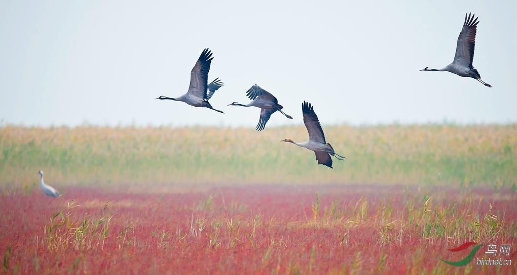 据江苏盐城国家级珍禽自然保护区科研人员观测:至11