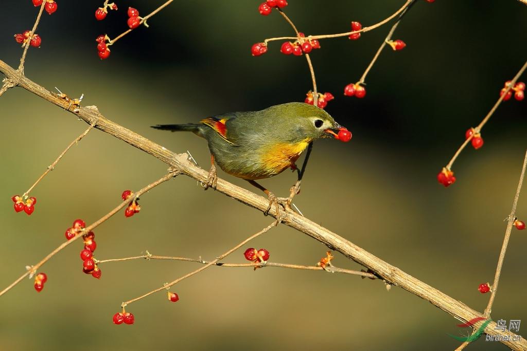 鸟叼着树枝