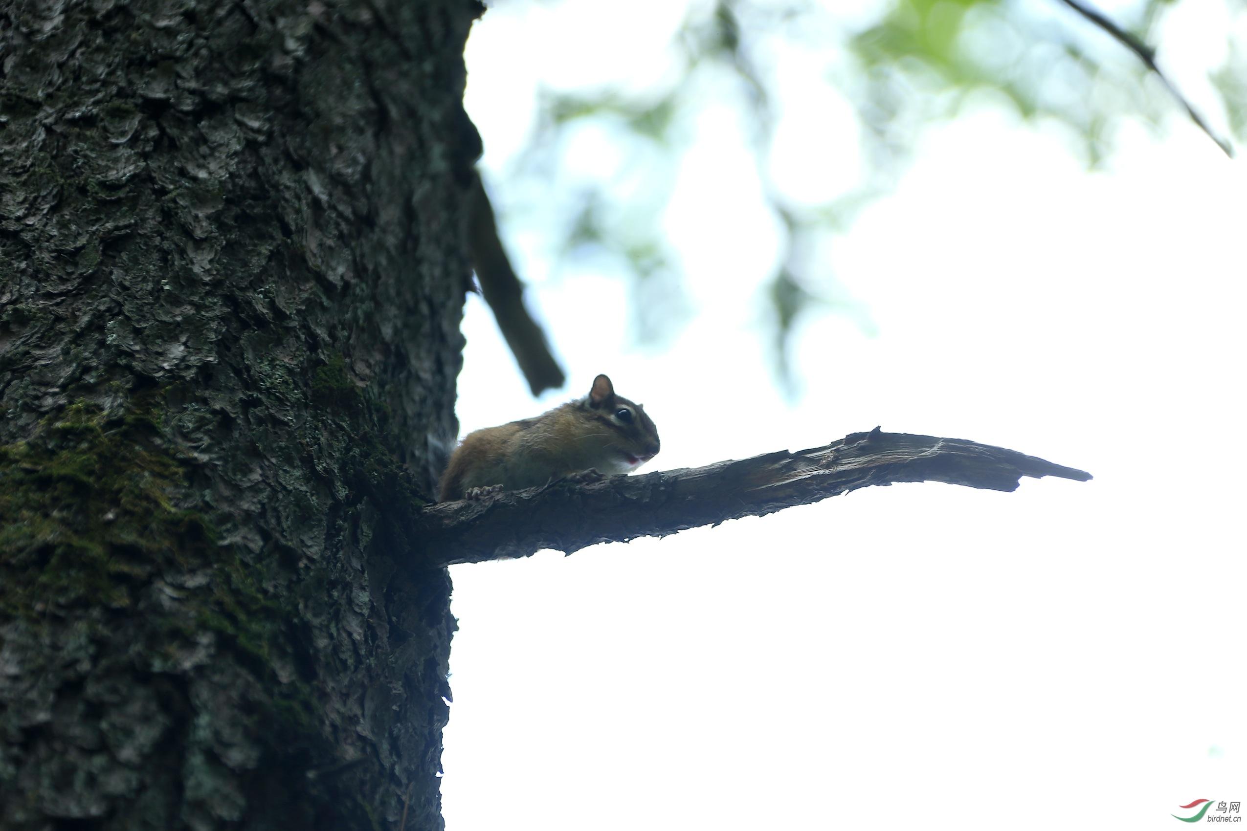 长白山的松鼠 - 野生动物