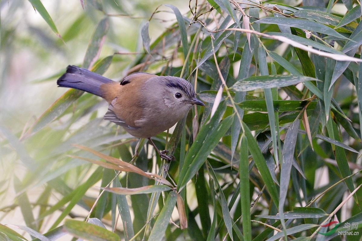 记录三种蹦蹦跳跳的小鸟:高山旋木雀