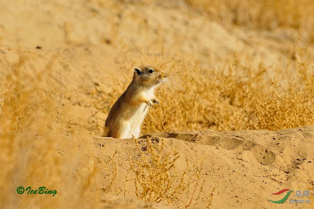 新疆可爱的小动物-田鼠