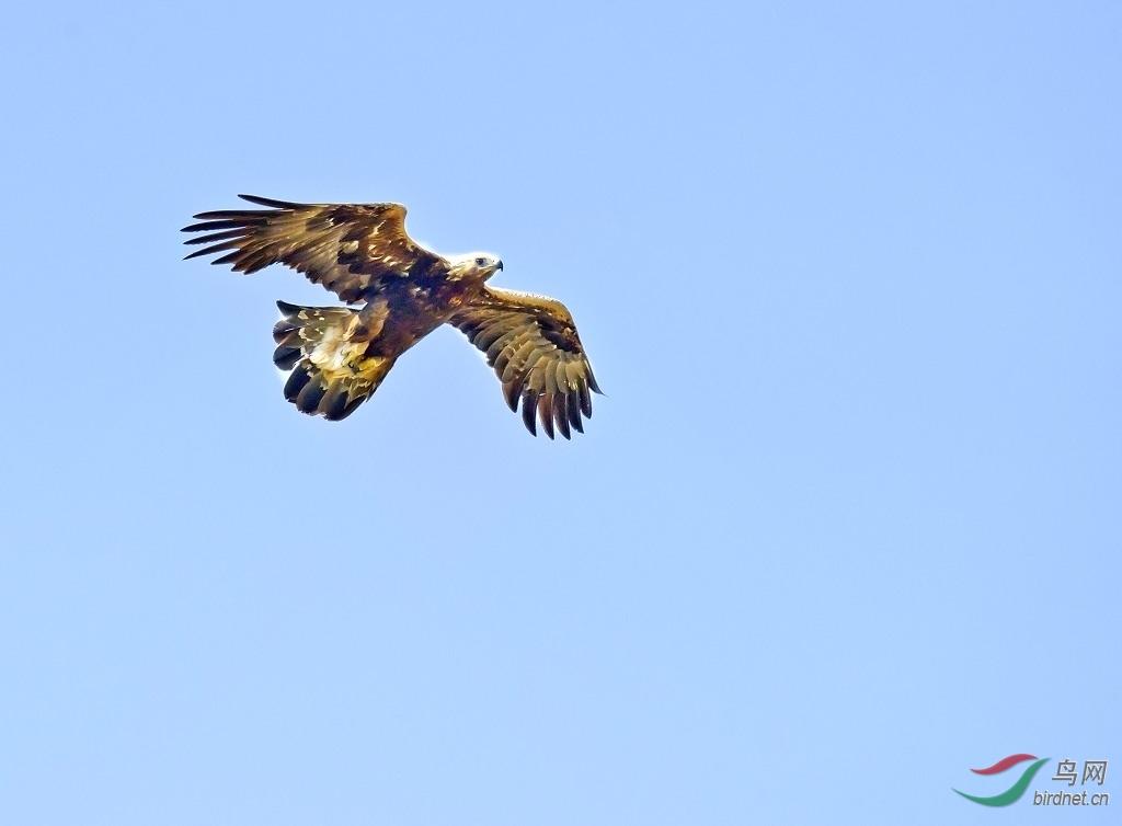国家一级重点保护野生动物----金雕