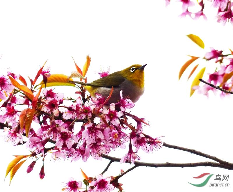 明代于若瀛的三月雨声细,樱花疑杏花诗句。现