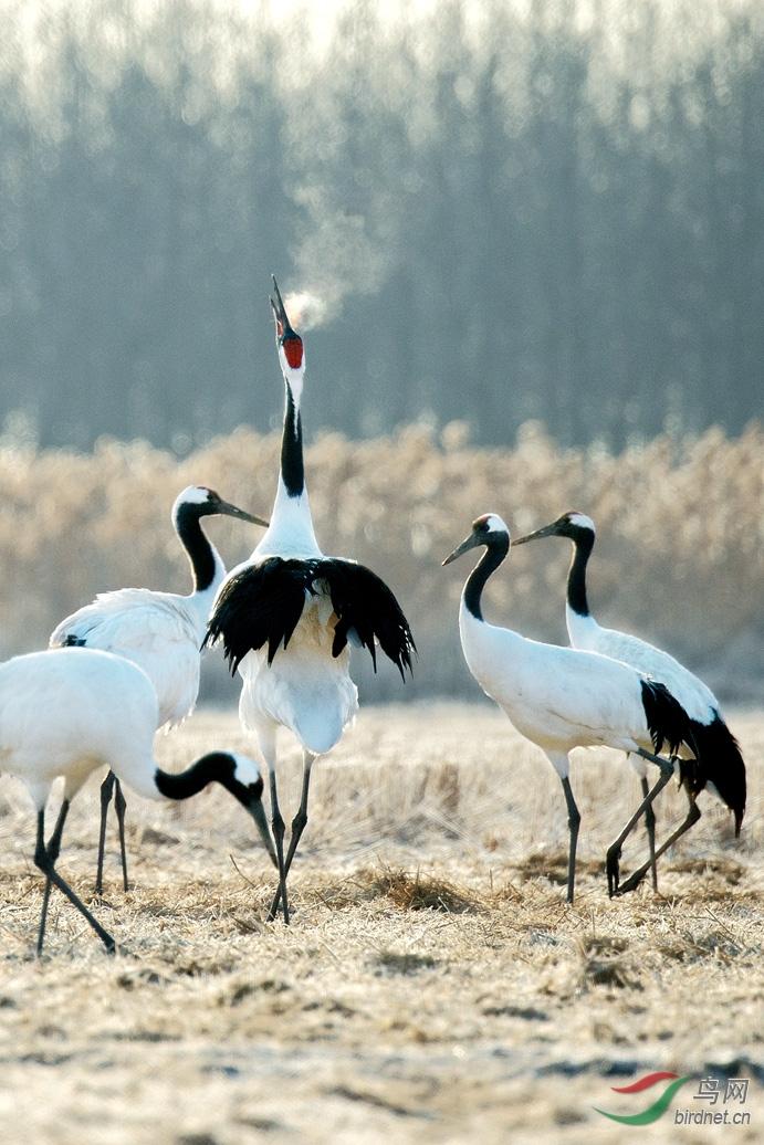 仙鹤舞歌 - 广东版 Guangdong 鸟网