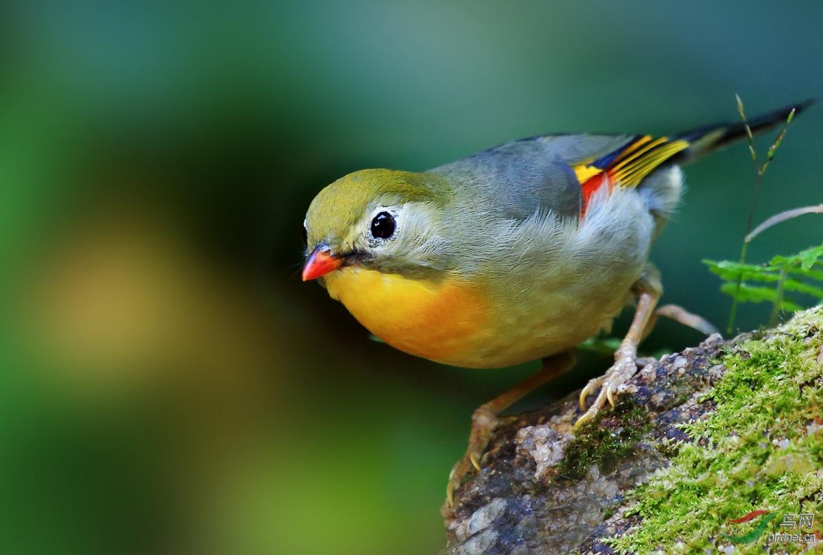 红嘴相思鸟闹春姆漫画艳。图片