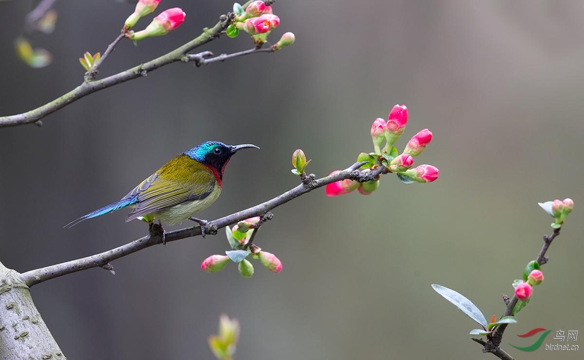 太阳鸟喜上枝头,祝鸟友乐度元宵!