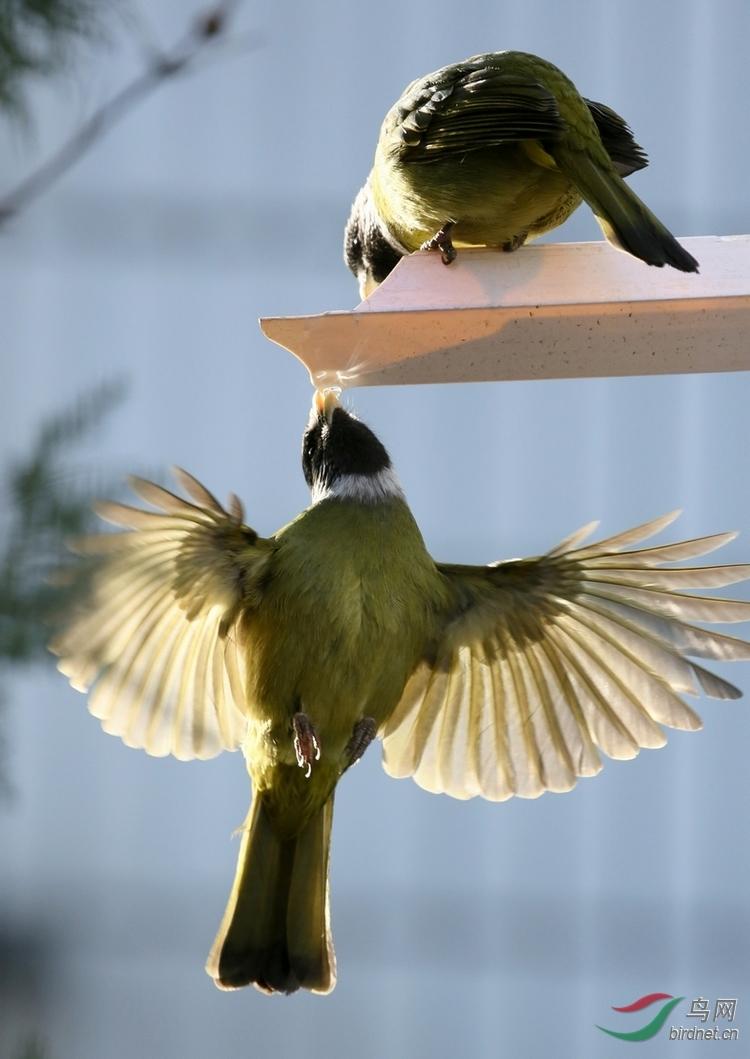 能在空中悬停的鸟