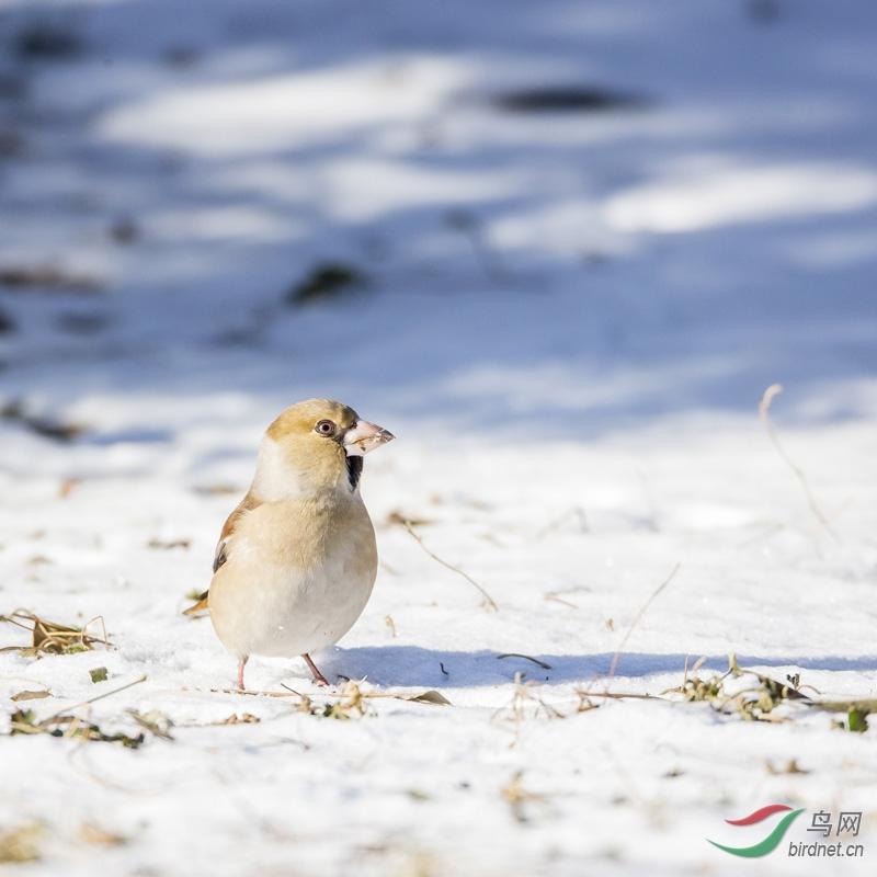 2013龙年蛇年交替之时,华北地区雪格外大,连降数场大雪,我省北部多地积雪都在一尺多厚。蛇年入冬以来却一直不下雪,雪中和雪后都是拍鸟人激情出击的美好时刻。拍雪版的鸟儿就成了拍鸟人的梦。我们天天期盼着天公喜降瑞雪,每逢降雪,或雪后,总禁不住放下手中的事情,奔向茫茫雪地,柳絮一般的、芦花一般的、轻烟一般的雪中,寻找洁白世界中美丽的精灵。按下那激动的快门,悦耳的声音,使人陶醉,完全忘却了寒冷、路滑,整理不平凡的2013,还是收获了一些雪版的靓鸟。发一组共赏!