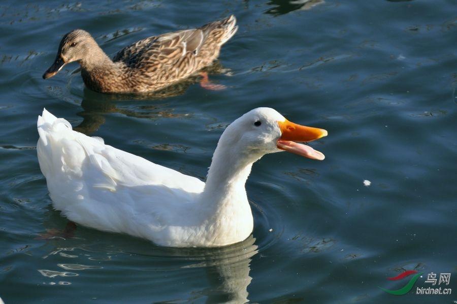 大白鸭呼唤同伴